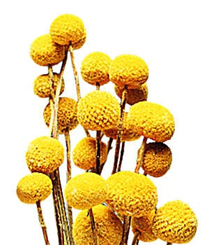 Craspedia is a genus of daisies commonly known as billy buttons, billy balls or woollyheads. They are native to Australia and New Zealand where they grow in a variety of habitats from sea level to the alps.