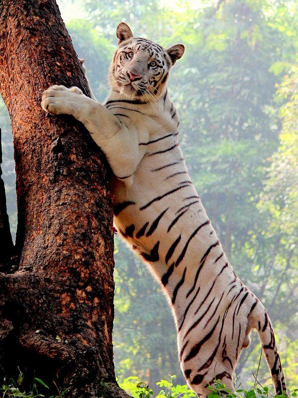#White Tiger
