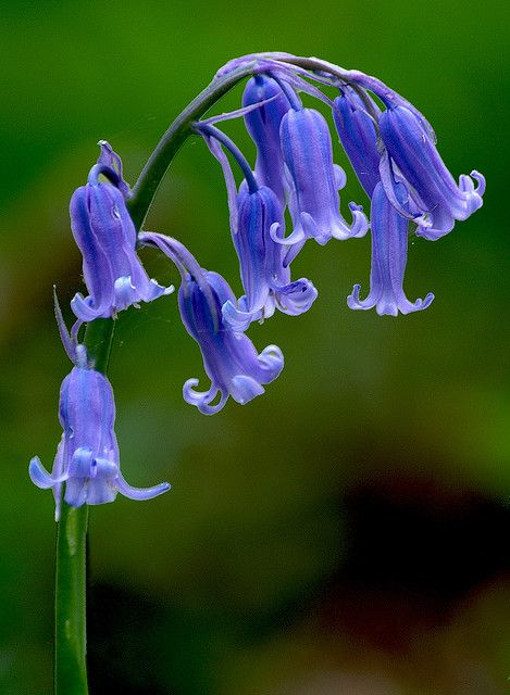 Bluebell (hyacinthoides non-scripta). Looking fwd to seeing these come up.  Got a few of these across the wood area. Not as many as I wanted.