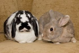 Maggie and Murphy is an adoptable Bunny Rabbit Rabbit in Birmingham, AL. Maggie and Murphy are best friends and must go to the same loving home. These two are a delight and have settled into their Hun...