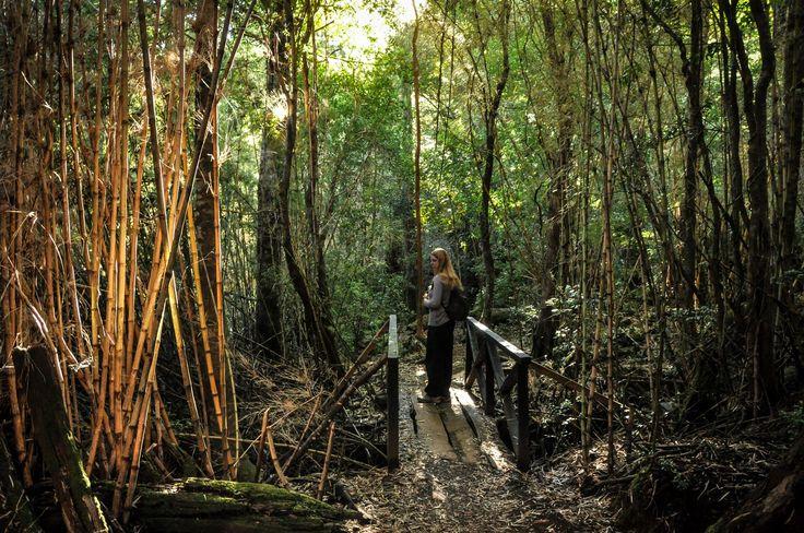 Forêt de Bambous, Huerquehue, Chili