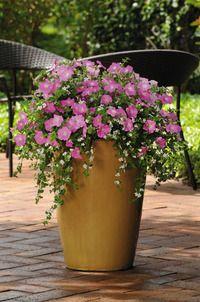Petunia & Snowtopia Bacopa
