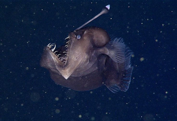 Made famous in the movie Finding Nemo, a sea devil is caught on film for the first time.