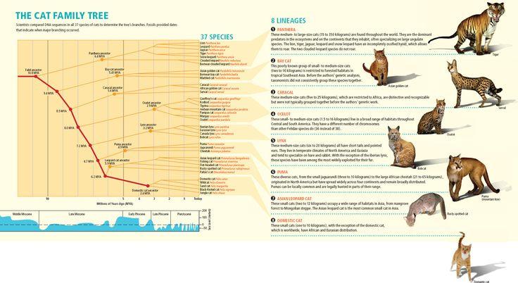 Evolution of the Cat Family