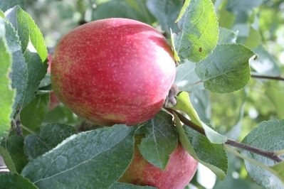 """The apple grower: ...holistic growers to understand the importance of certain things being done at very prescribed times in the growing season. When key timing is paired with variable New England weather, dealing with disease can become a serious challenge meaning an ounce of prevention really is worth a pound of cure. """"The spring applications straddle the primary infection period of many diseases and therefore are necessary universally,"""" says Phillips. """"Dealing with summer rots and sooty b"""