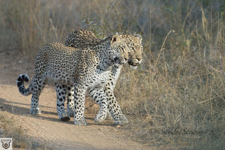 Rock Fig Junior and her juvenile female cub who was about a year old when this photograph was taken