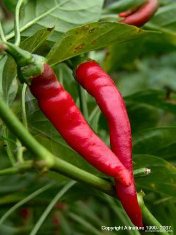 CAYENNE is possible Anti-Cancer Agent: Studies done at the Loma Linda University in California found that cayenne pepper can prevent lung cancer in smokers. Other studies have also shown a similar reaction in cayenne's ability to inhibit liver tumors. http://lindawagner.net/blog/2012/02/detox-tea-recipe
