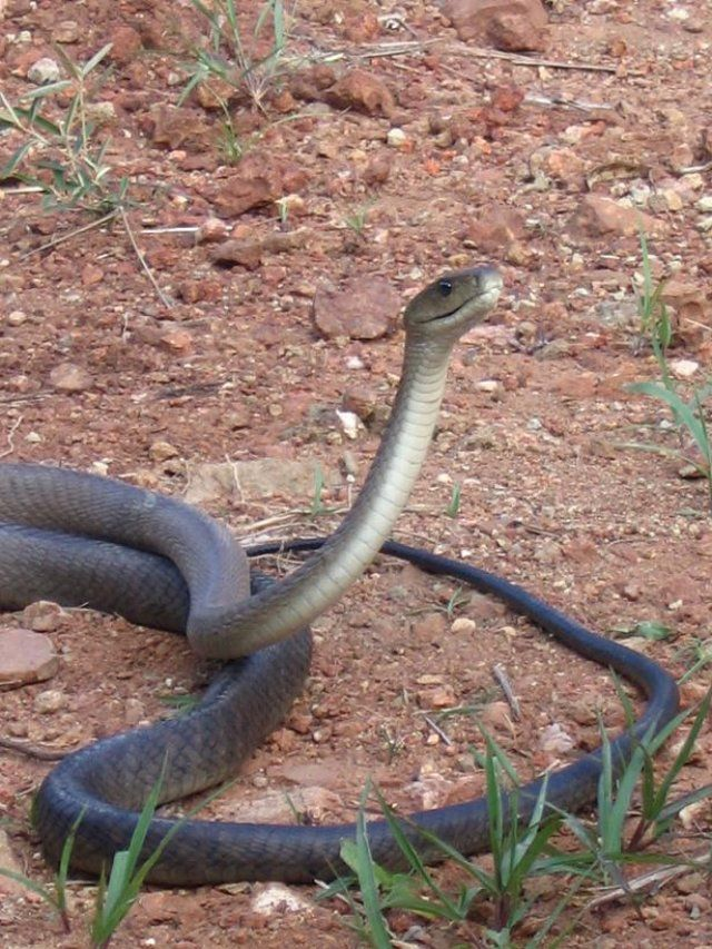 Black mamba. They can get up to 14 feet long and reach speeds of more than 8 miles per hour