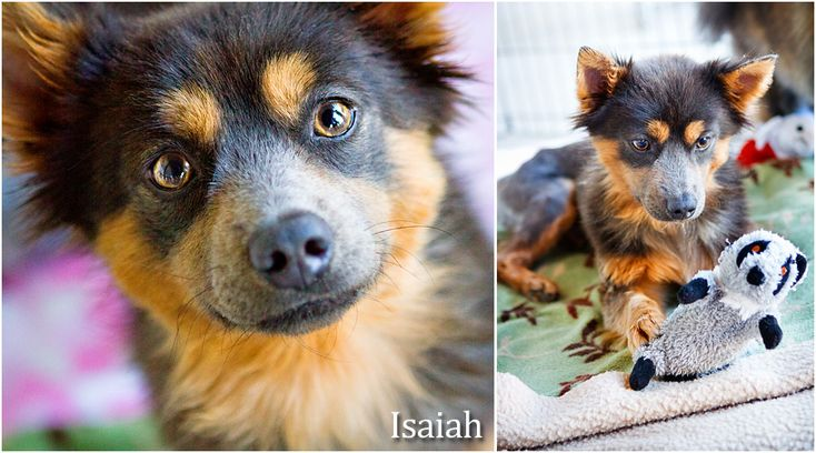 The latest adoptables from Potato Chips Pomeranian Rescue