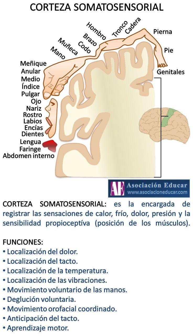 Infografía Neurociencias: Corteza somatosensorial | Asociación Educar para el Desarrollo Humano