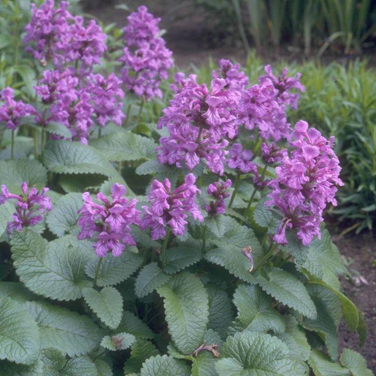 Staudenfoto zu Stachys grandiflora 'Superba' (Großblütiger Garten-Ziest)