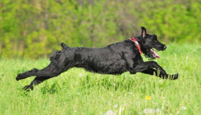 15 Most Popular Police Dog Breeds Dog Breeds Police Dog Breeds Giant Schnauzer