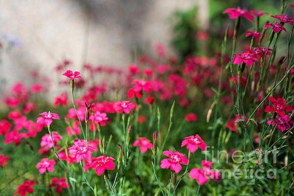 The Beauty Of Maiden Pinks by Ismo Raisanen #art #fineartphotography #photog #deals #Ismoraisanen