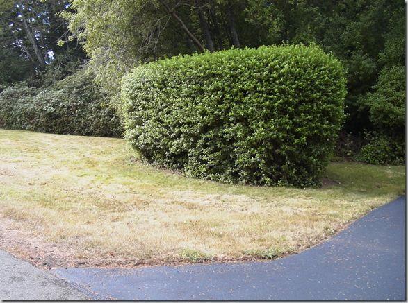 Escallonia hedge - plain jane, small leaf, dense leaves.