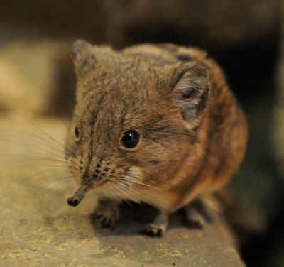 Short-Eared Elephant Shrews Deserve a Shnuggle! - This is the Short-eared Elephant Shrew (Macroscelides proboscideus) and it's just too damn cute. Apparently its mate seems to think the same thing, since these are only one of a few mammalian species that are monogamous. That fur does look pretty snuggle-able! The product of two Short-eared Elephant Shrews in love will come pretty fast though, as the gestation period is only 56 days!