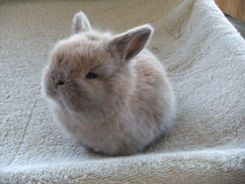 fluffy baby bunny - photo #29