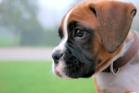 Boxer dog puppy, New Funny Pet Pictures | Dogs,Cats,Birds,Hamsters ...