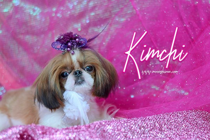 Doll Face Imperial Shih Tzu Philippines Shih Tzu Tiny Dogs