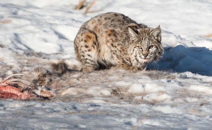 The Final Cat #bobcat #alberta #wildlife #winter #snow #animals #wildlife