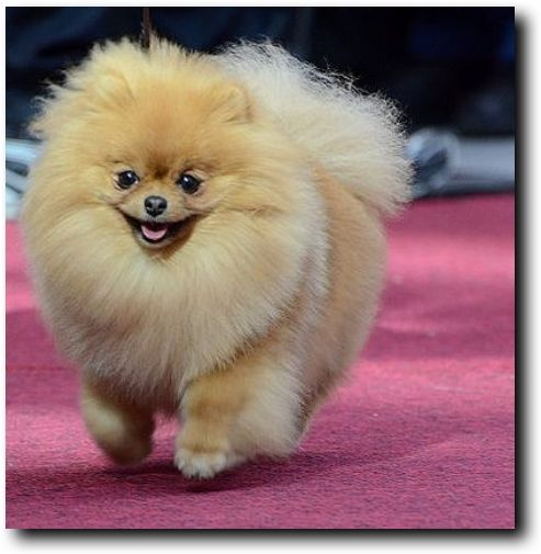 haircut for pomeranian dog 25 best ideas about pomeranian haircut on pinterest dog 6804