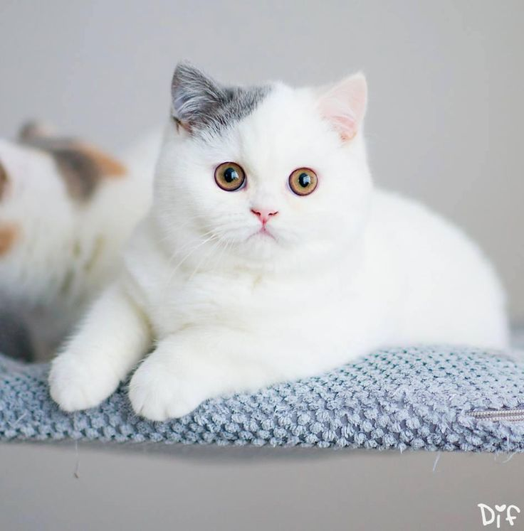 Brits Korthaar Kitten | Cattery Eek a Mouse | The Netherlands | #KittenTeKoop