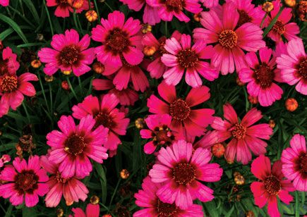 1646 best flower garden images on pinterest beautiful flowers coreopsis garnet numerous garnet red colored flowers on a compact habit well suited both for containers and landscape brightens up low maintenance mightylinksfo
