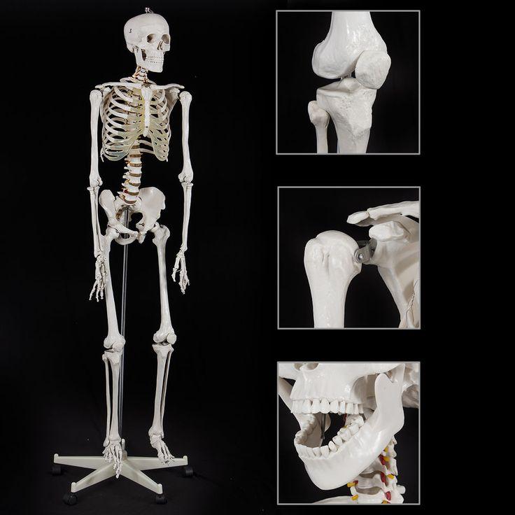 New Life Size Advanced Anatomical Human Skeleton Anatomy Medical Model   Stand #Autoolusa