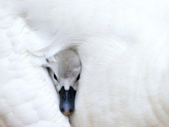 Молодой лебедь выглядывает из-под крыла матери в пруду в Миртл-Бич, Южная Каролина.
