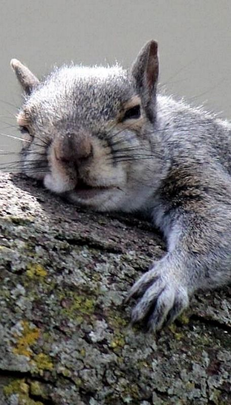 Think I'll just take a nap << Today's dose of squirrel cuteness. #waitingforRedsandGrays