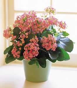 Kalanchoe Plant This Hardy Produces A Plethora Of Small Colorful Pink Flowers Bursting From Easy House Plantshardy