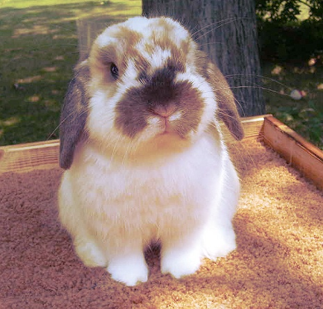 holland lop | Tumblr  aww of course our farm needs a few bunnies for this kids. ;0)