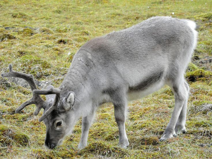 raindeer | File:Svalbard reindeer.jpg - Wikimedia Commons