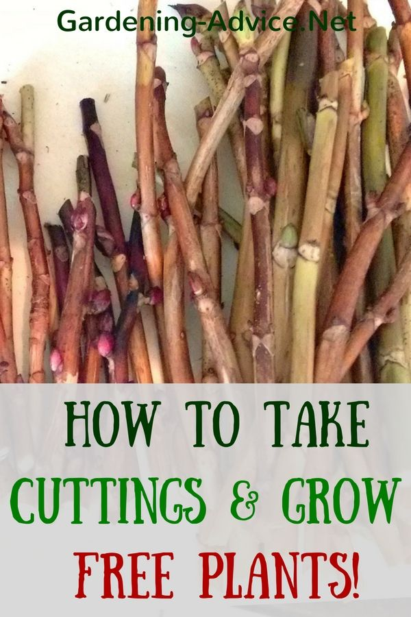 Learn how to take a cutting and grow free plants for your garden. Propagating plants is really easy and a lot of fun!