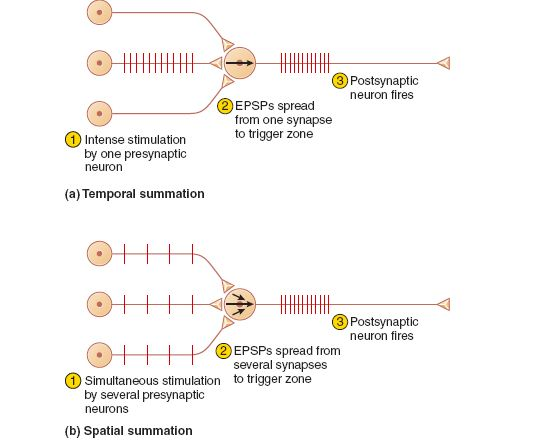 Temporal summations occurs when a single synapses generate EPSPs so quickly that each is generated before the previous one fades. The EPSPs add up over time to a threshold voltage. Spacial summation occurs when EPSPs from several synapses add up to threshold at the axon hillock.
