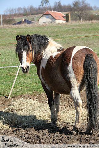 Dolar - Hucul + Ponny