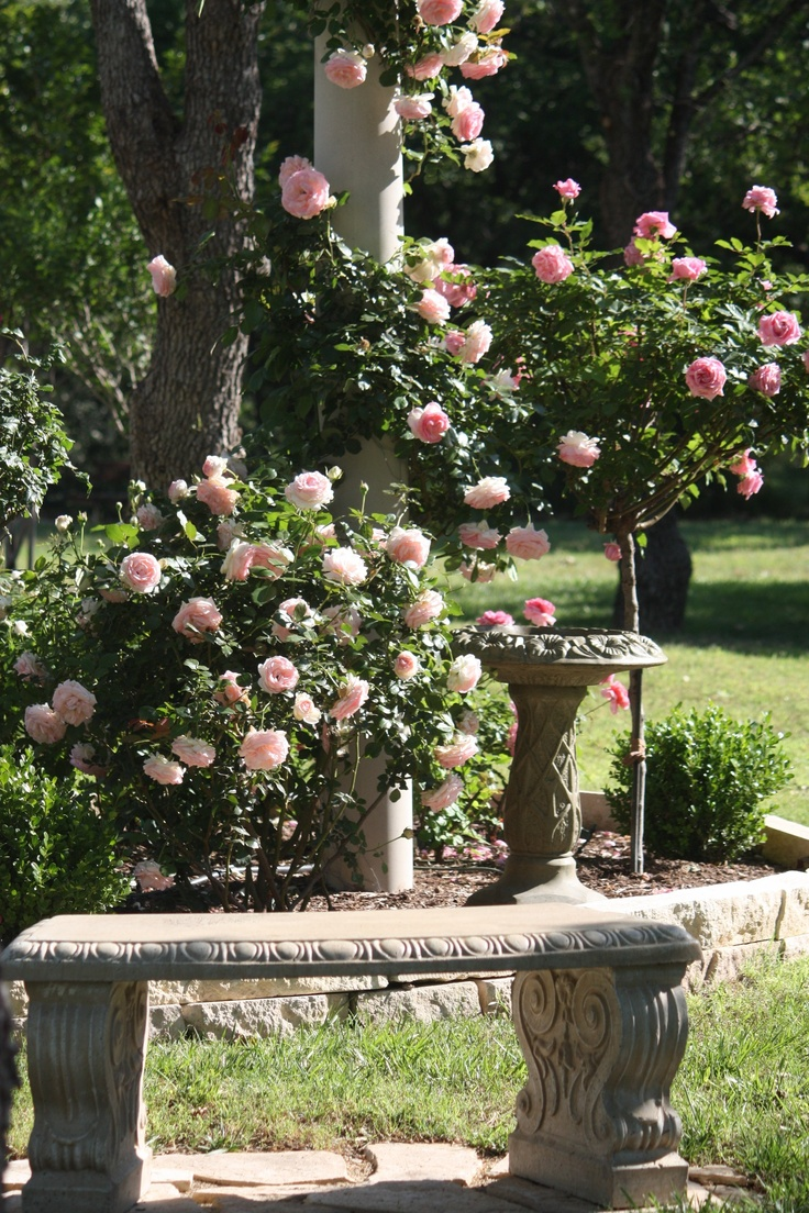 My climbing eden rose on a pillar with belinda 39 s dream for Garden rose trees