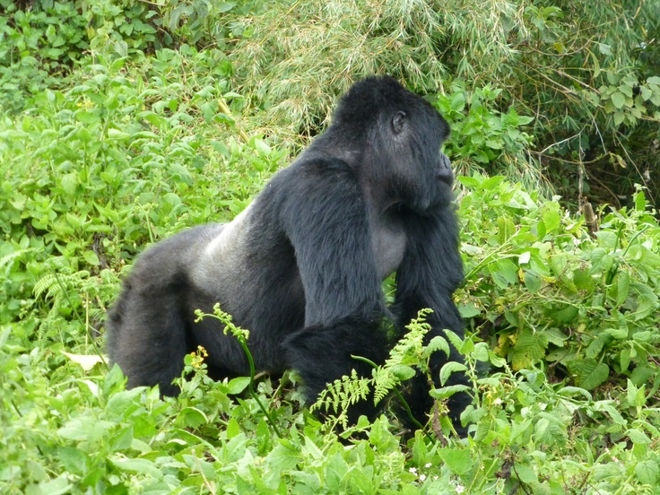 One of the Amahoro group's silverbacks. See more at minibeartravels.com