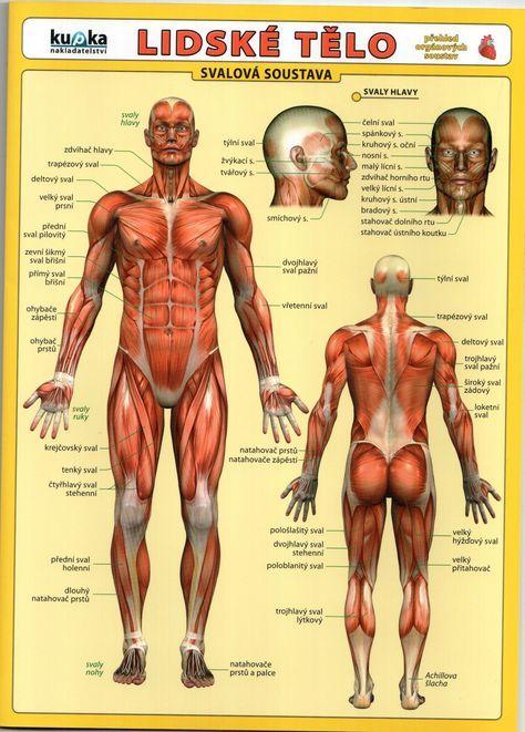 lidské tělo tabulka.jpeg