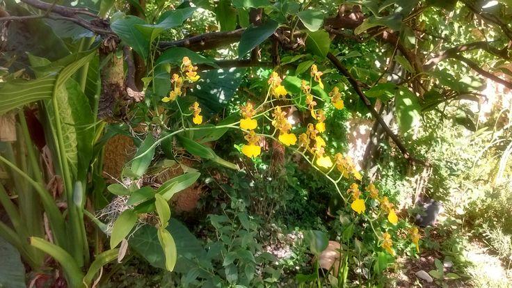 Variedad de orquídea oncidium