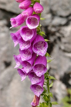 The foxglove plant is grown commercially for distillation of the heart medication digitalis. Caring for the foxglove plant should include keeping children and pets away, as all parts can be toxic when consumed.