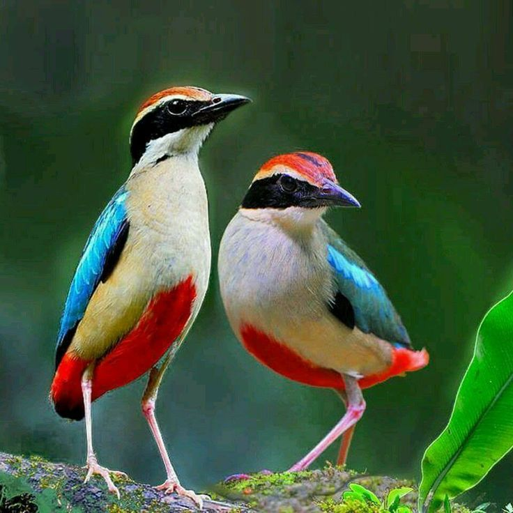 FAIRY PITTA Rare in the Kimberleys of north Australia