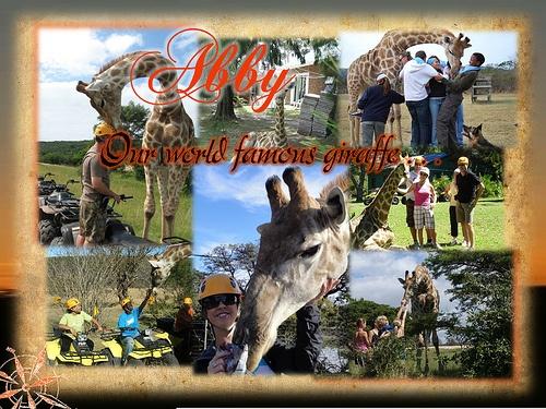 Abby - Our World Famous Giraffe