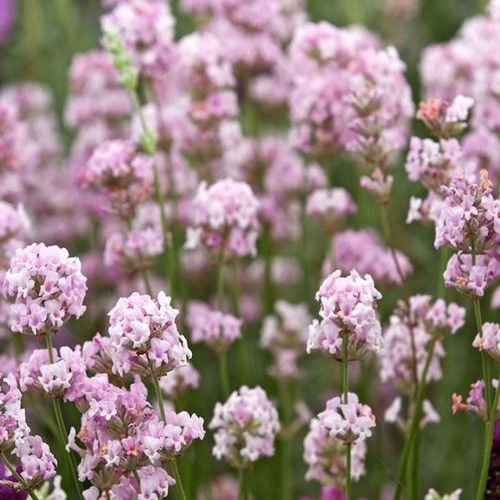 Lavender Rosea Flower Seeds (Lavandula Angustifolia Rosea) 20+Seeds