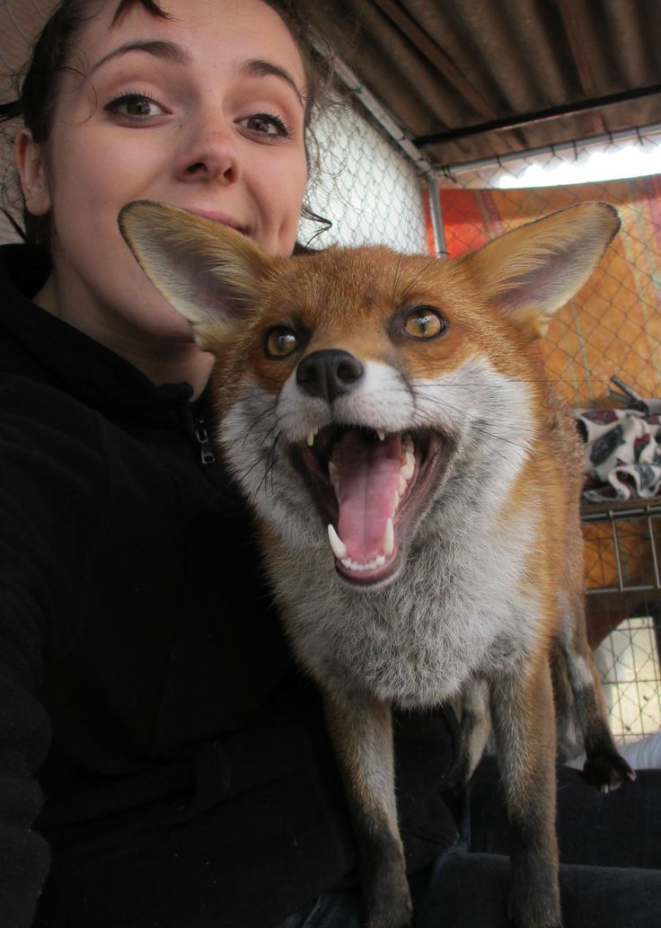 I volunteer at a Wildlife Sanctuary (England); Meet Raven, one of our tame foxes! - Imgur
