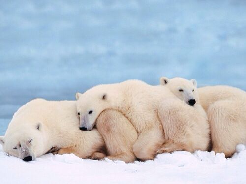 3 polar bears lying down
