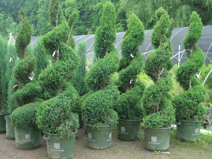 Spiral topiary, Juniper