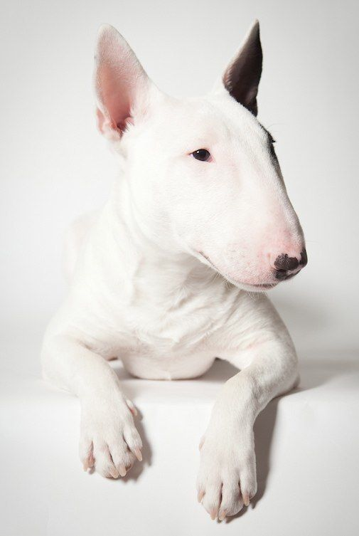 Mini Bull Terrier, these dogs are so cool!
