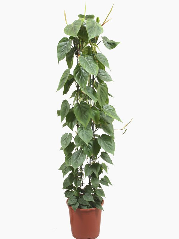 Providing a range of indoor moss pole plants for sale online in the UK. Please call 01825 841194 for more information.
