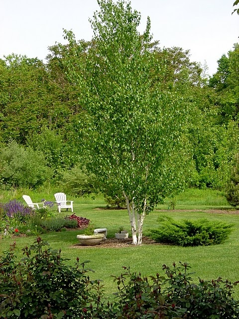 paper birch trees for sale