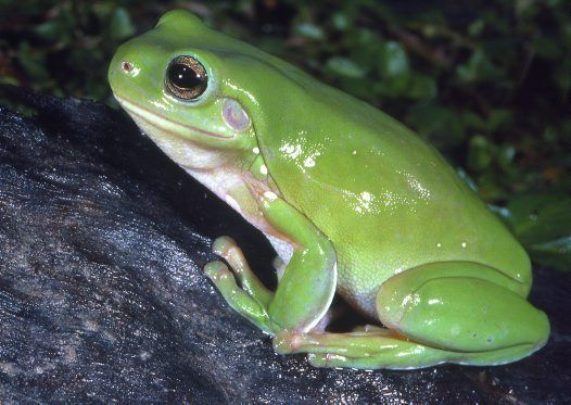 Whites Tree Frog- I used to have a few of these, kinda miss the little green fellas!